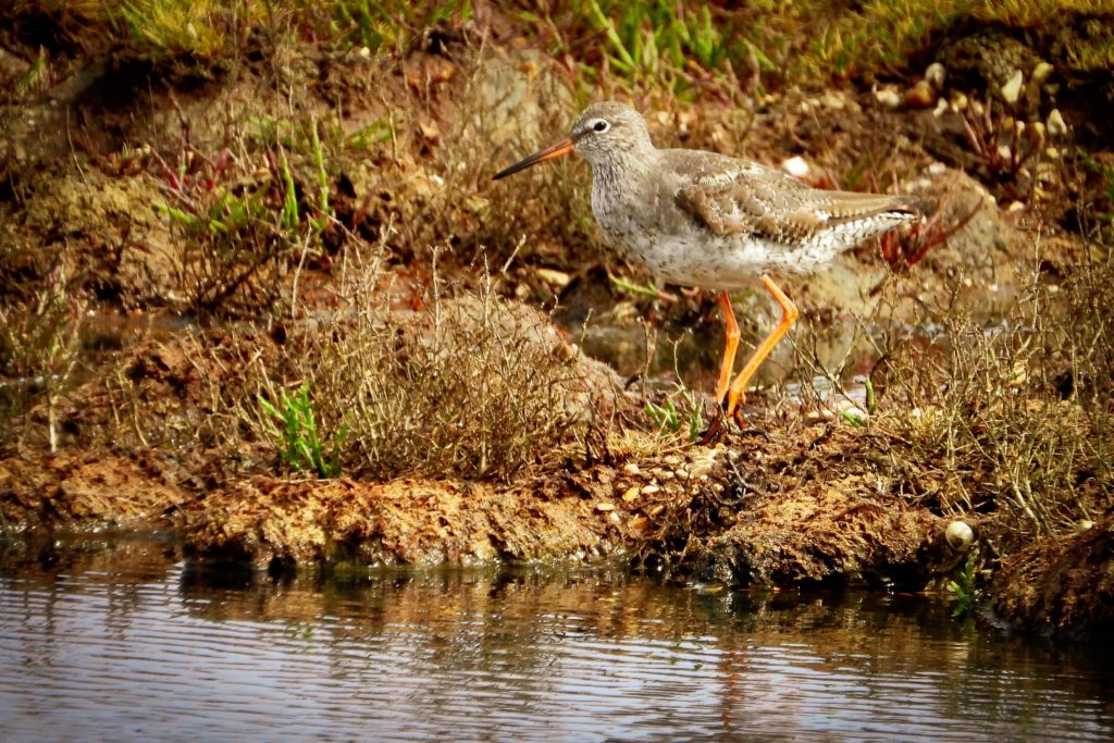 Redshank standing by the water.