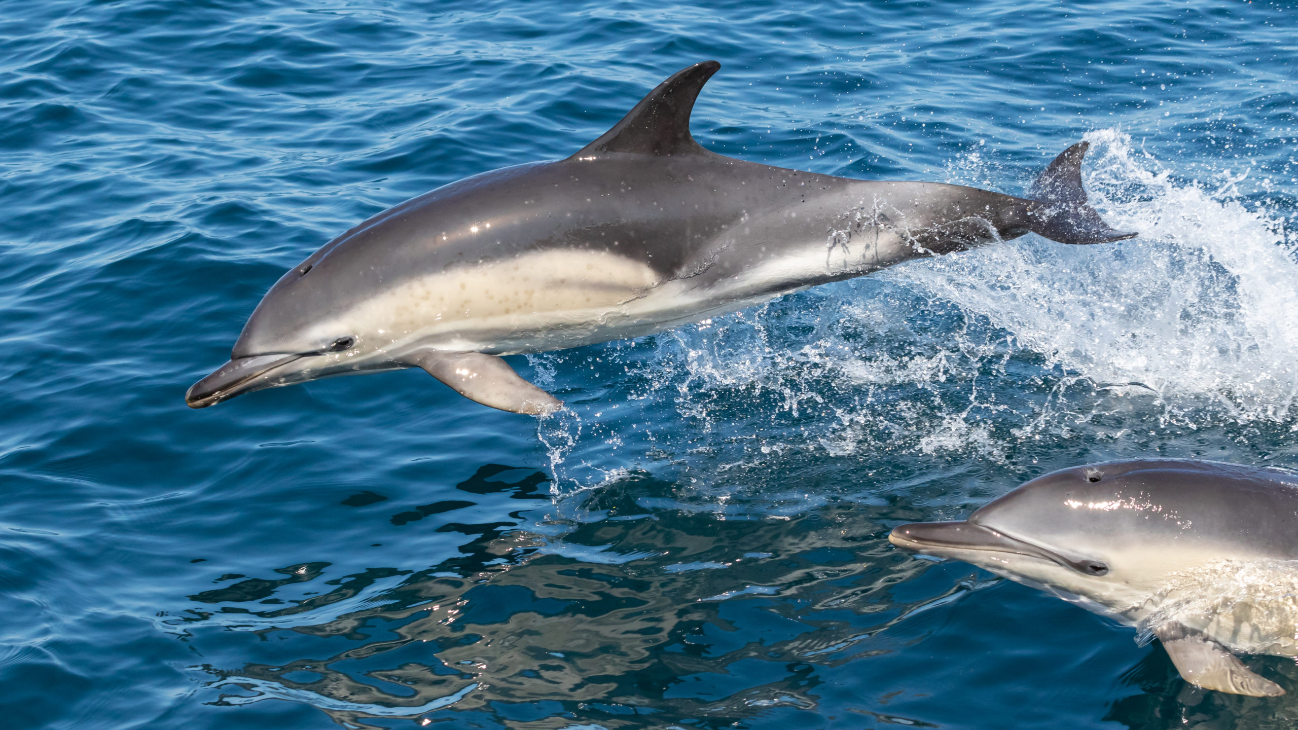 Two dolphins jumping out of the water.