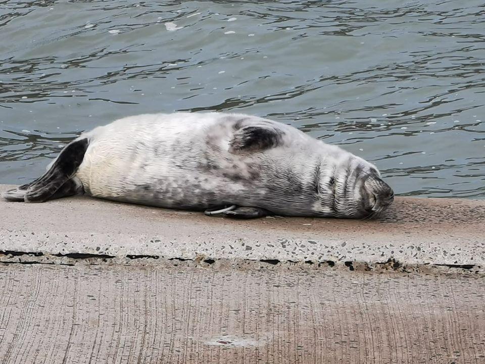 Seal resting on land near Fishguard.