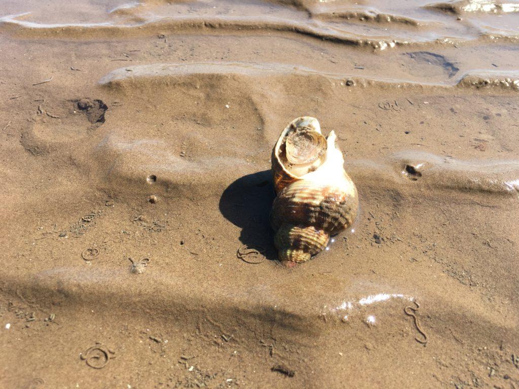 Common Whelk sitting on sand.